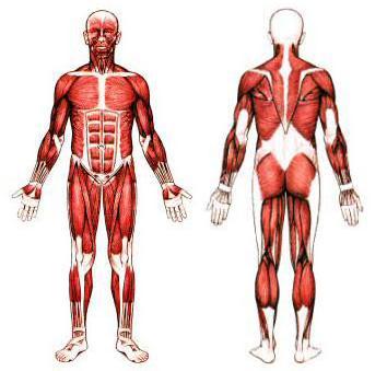 איך שריר מתפתח ?
